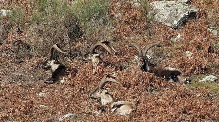 spanish ibex hunting